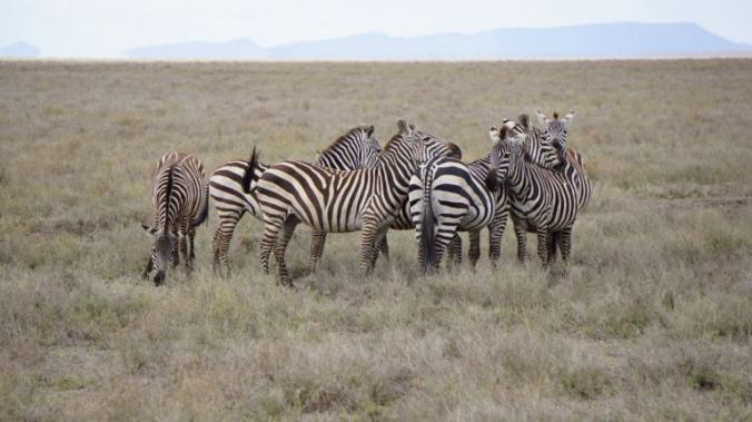 Serengeti - zebras