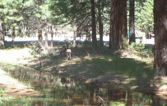 Yosemite - deers