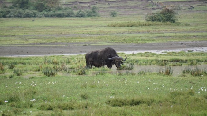 ngorongoro - buffalo