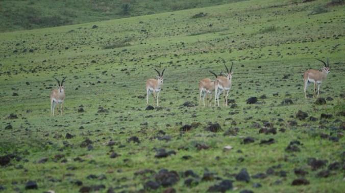 ngorongoro - gazelle