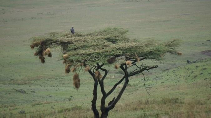 ngorongoro - tree