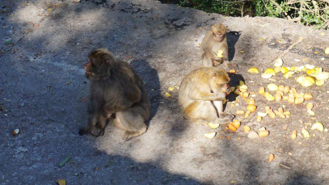 Gibraltar - the rock monkeys
