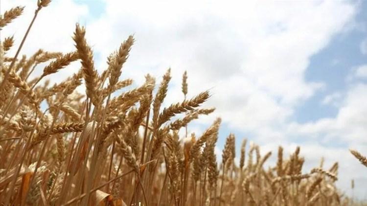 زراعة القمح في تركيا