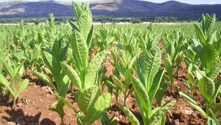 زراعة التبغ في تركيا