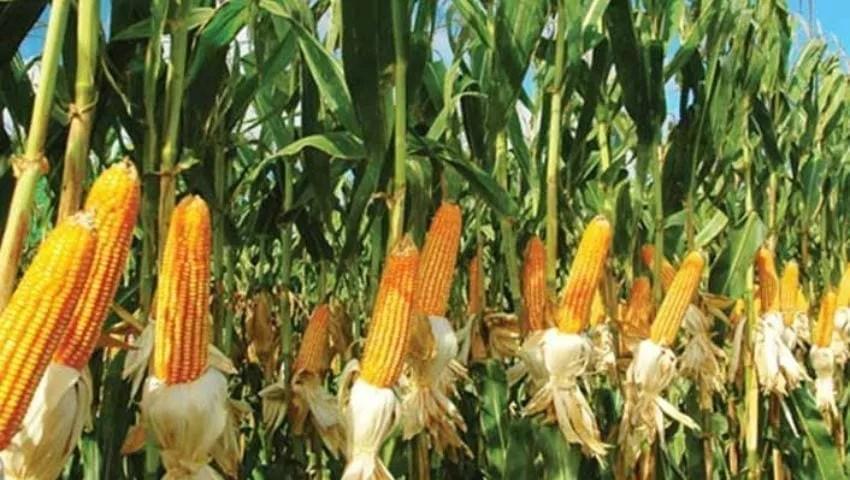 زراعة الذرة في تركيا