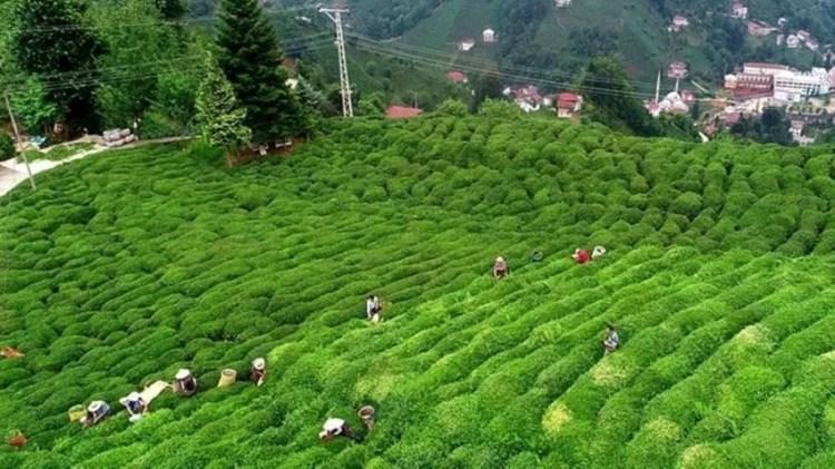 زراعة الشاي في تركيا