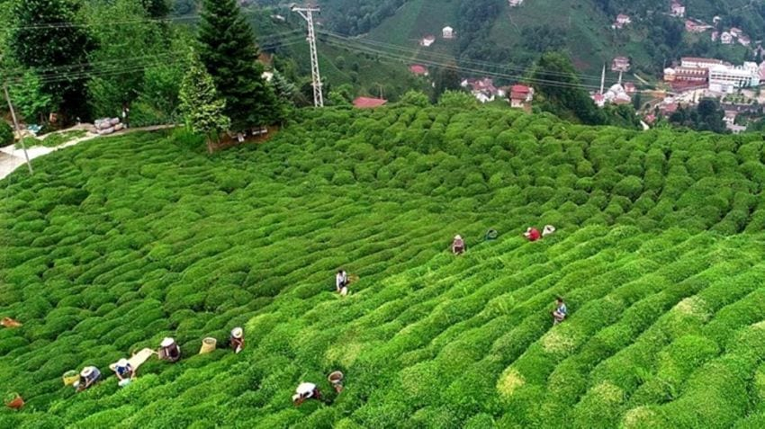 Tea cultivation in Turkey