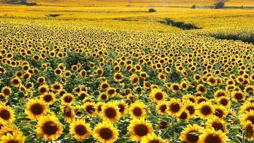 Sunflower cultivation in Turkey