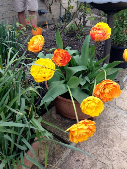 Grandad's tulips