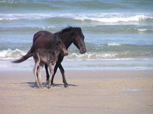 Wild Horses on the beach of my beloved Outerbanks, North Carolina