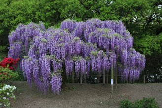 Wisteria in Ashikaga Flower Park in Gunma Prefecture, Japan.