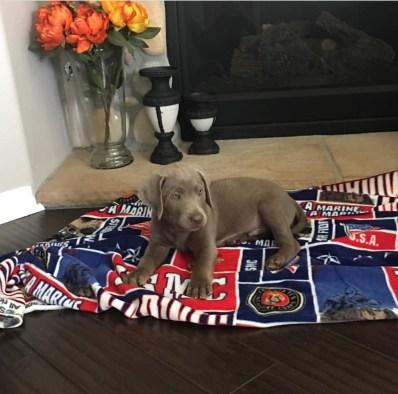 Baby Mason | USMC | Service Dogs