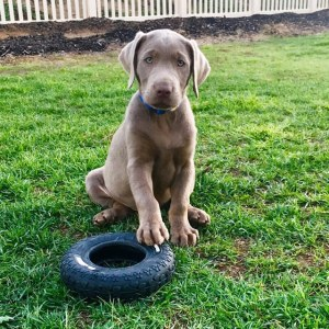 Silver Lab Puppy | California Silver Lbas