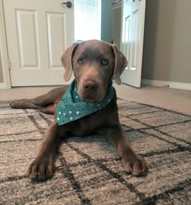 Six Months Silver Lab Puppy | California