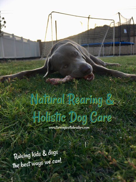 Natural Rearing for Dogs | Turning Leaf Labradors