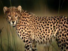 http://animals.nationalgeographic.com/animals/photos/cheetahs/#/cheetah_492_600x450.jpg