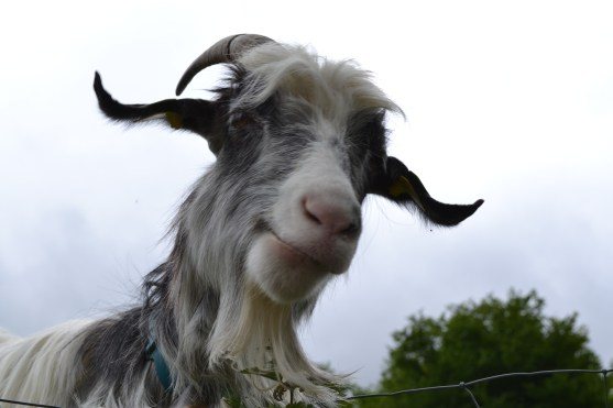 Our favourite Billy Goat in the Pyrenees