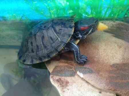 Какими овощами можно кормить красноухую черепаху