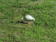Florida Ibis