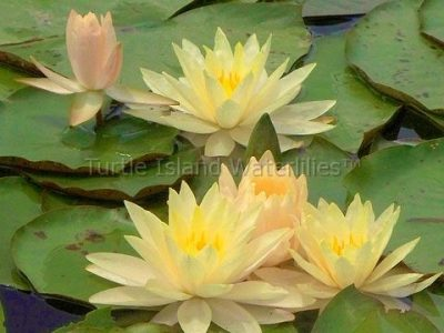 Products Archive - Turtle Island Waterlilies