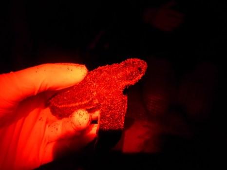 Red-light Leatherback hatchling