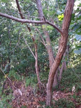 black-locust-tree