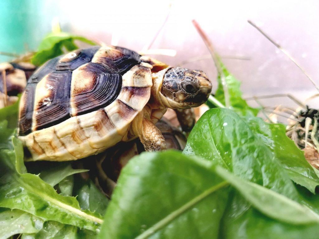 żółwie obrzeżone