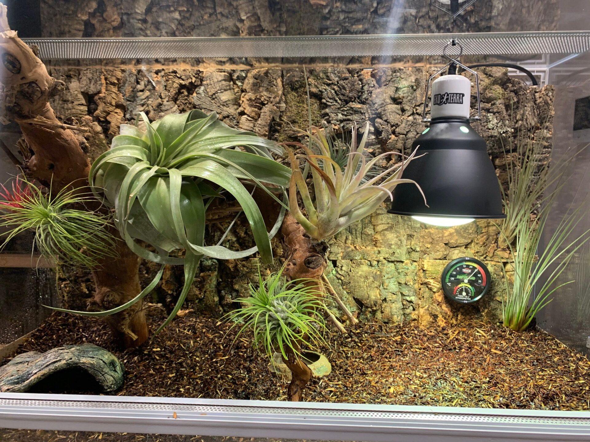 oplątwa w terrarium