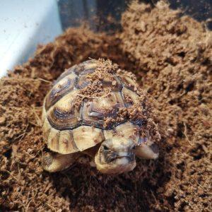 żółw obrzeżony testudo marginata