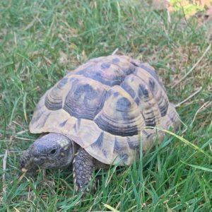 żółw grecki samiec