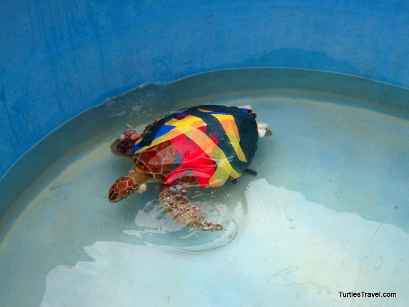 Recovering from surgery, Turtle Hospital