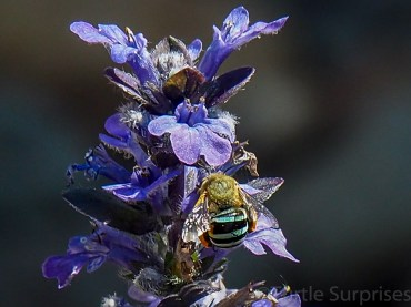 Native Blue Banded Bee