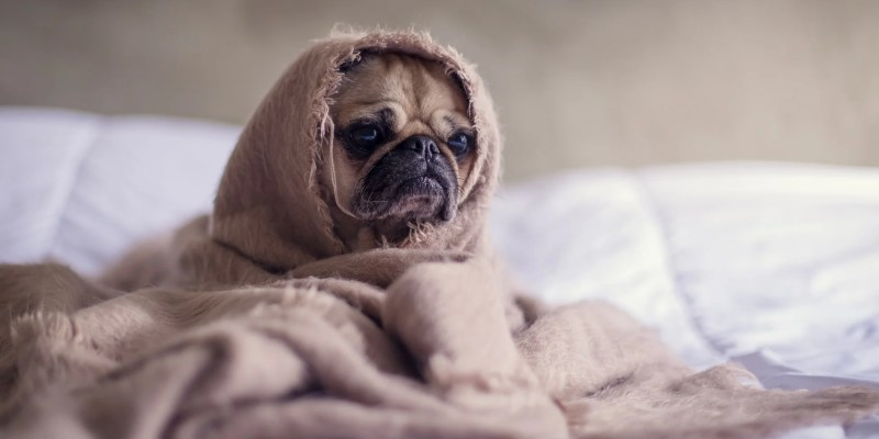 Pug on the bed avered by the blanked
