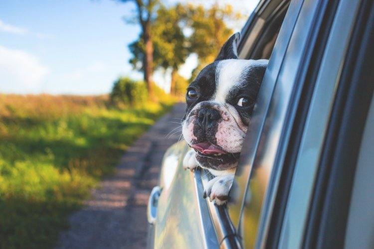 A happy looking black and white French bulldog with their head our a car window on a country lane.