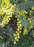 mimosa 10