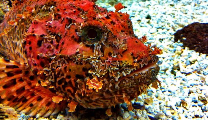 El cabracho es un pez que habita en la costa cántabra y que tiene espinas venenosas.