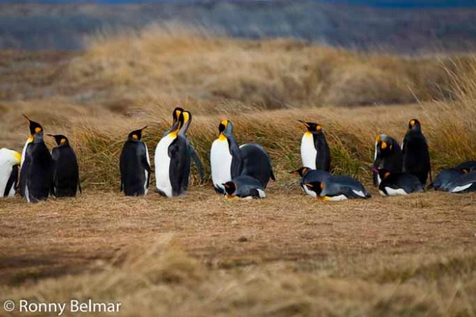 El Parque Pingüino Rey está a unas 4 horas de Porvenir y es un imperdible en Tierra del Fuego, por constituir un inexplicable asentamiento de esta especie