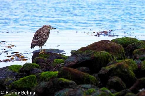 """Un """"Huairavo"""" recolecta su alimento entre las rocas de la costa"""