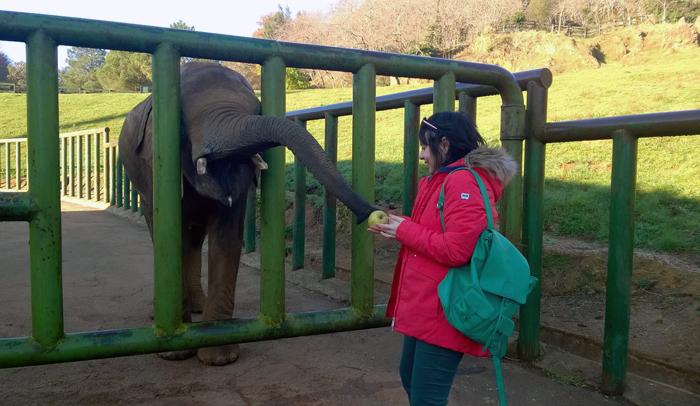 Dando de comer a la elefante Cristina, un ejemplar abandonado por su madre.