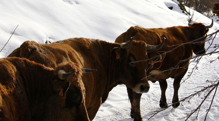 Ganado vacuno. Foto Arnaud Späni. Cedida por Turismo de Asturias.