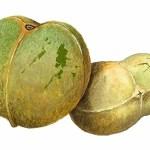 semilla-de-brasil-fruto