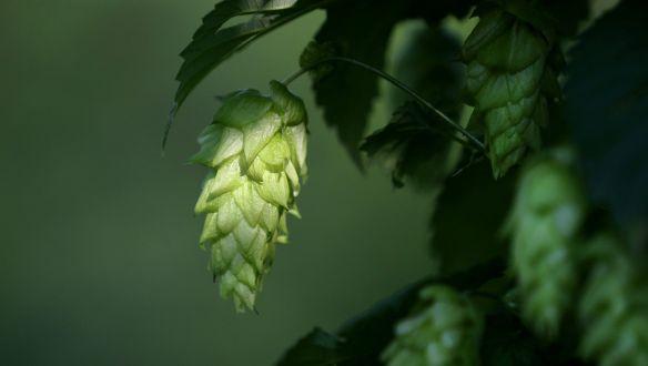 Lúpulo cerveza artesanal