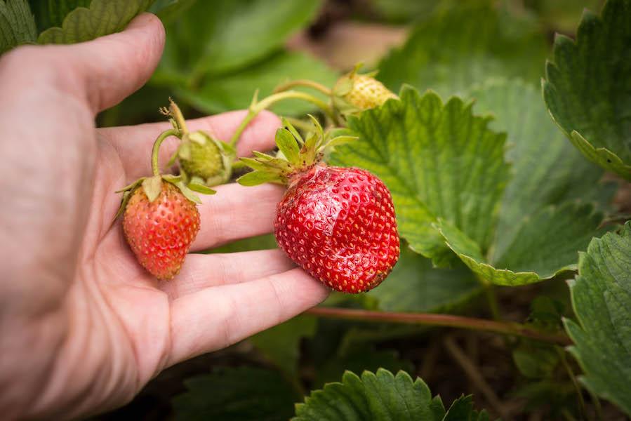 fraise4