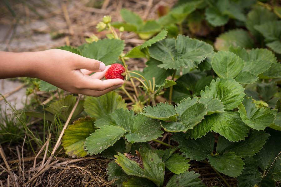 fraise du jardin