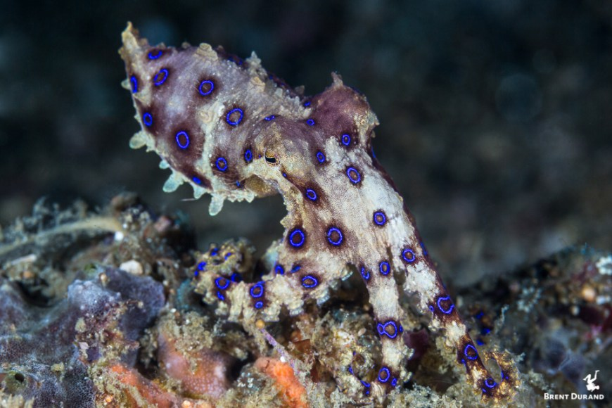 blue ringed octopus hunting in indonesia
