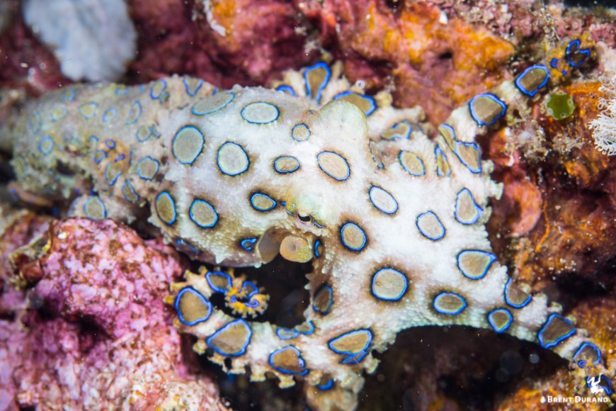 blue ringed octopus mating