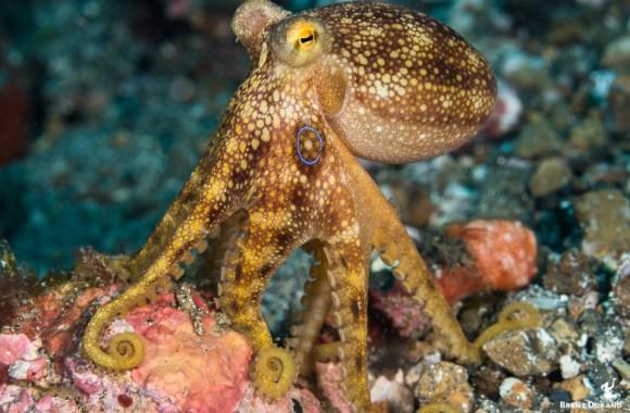 mototi-octopus-in-lembeh-strait
