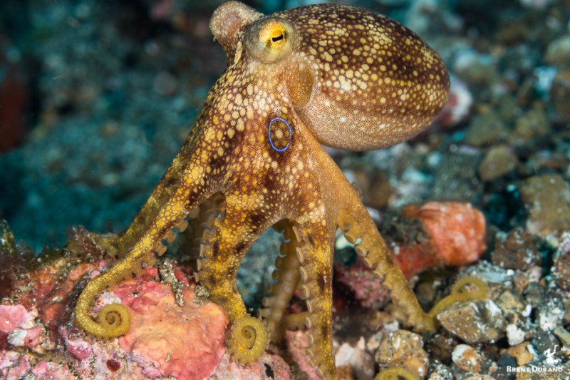 mototi octopus in lembeh strait