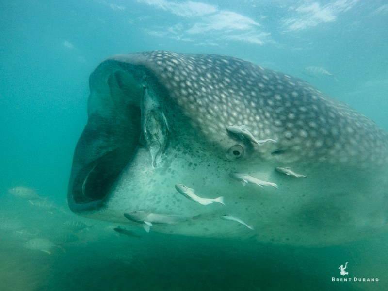 whale shark photo with gopro