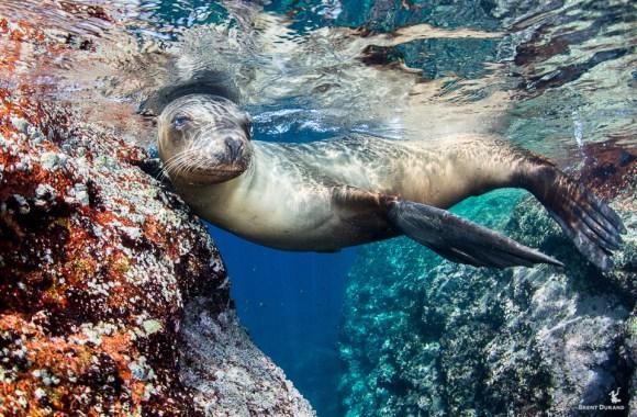 female-sea-lion-at-los-islotes